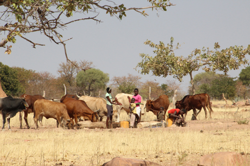 Government rolls out FMD vaccination in NCAs
