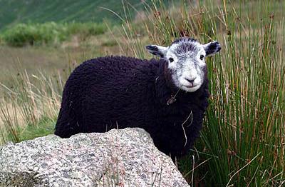 STRANGE BREED - The Herdwick sheep