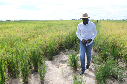 Kalimbeza primed for bumper rice harvest