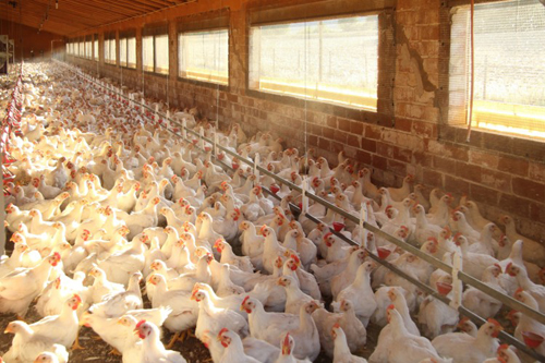Local poultry production ramps up to meet increased demand…as EU bird flu outbreak sees imports suspended