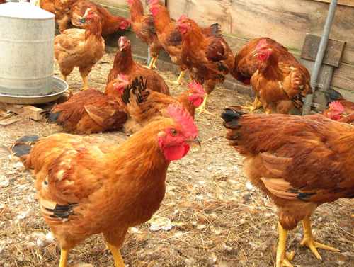 Bird flu outbreak  suspends poultry imports