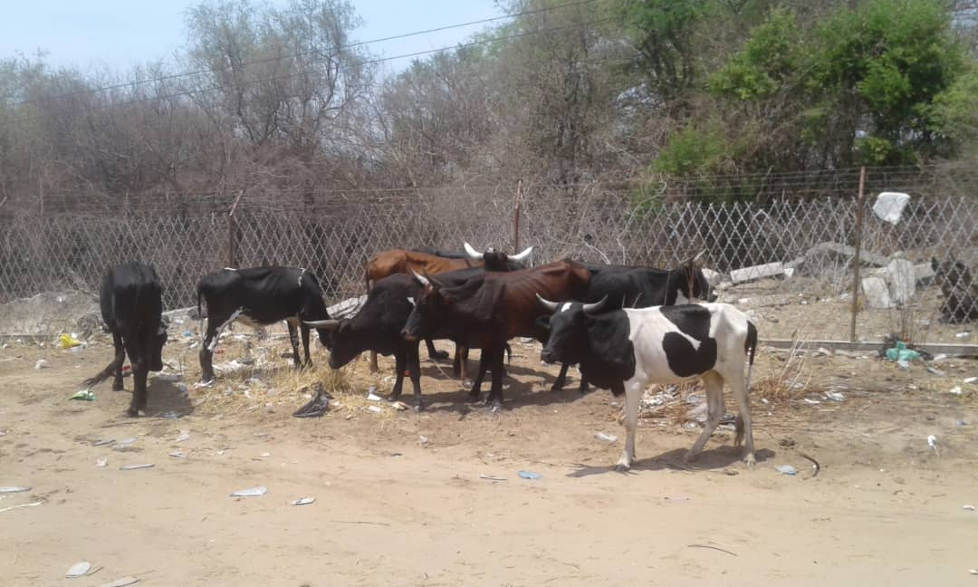 FMD spreading fast in Zambezi